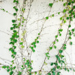 Ivy leaves isolated on a white background — Foto Stock