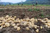Harvesting in a potato field — Stock Photo