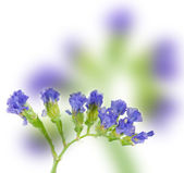 Lavender isolated on white — Stock Photo