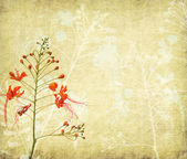 Peacock flowers on poinciana tree with Old antique vintage paper background — Stock Photo