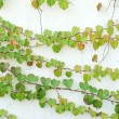 Ivy leaves isolated on a white background — Stock Photo