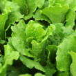 Lettuce growing in the soil — Stock Photo #15657153