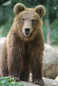 Brown bear portrait — Stock Photo