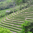 Tea plantation fields - Stock Photo