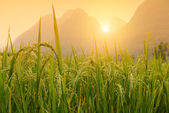 Paddy rice harvest — Stock Photo