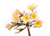 Plumeria flowers isolated on white — Stock Photo
