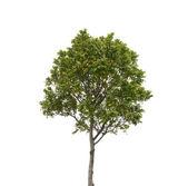 Beyaz arka plan üzerinde izole ağaç — Stok fotoğraf