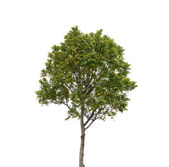 Tree isolated on white background — Stok fotoğraf