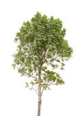 Tree isolated on white background — Stockfoto