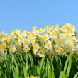 Blooming white daffodils in close view — Stock Photo