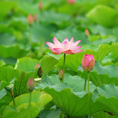 Blooming lotus flower — Stock Photo