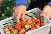 Strawberries in white plastic punnet — Stock Photo