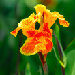 Beautiful orange Yellow canna Lily - Stock Photo