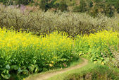 Spring over a lush field of oilseed — Stock Photo