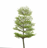 Green tree isolated on white — Stock Photo