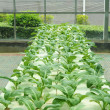 Hydroponic farm — Stock Photo