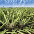 Pineapple fruit on bush — Stock Photo #24339569