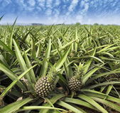 Pineapple fruit on the bush — Stock Photo