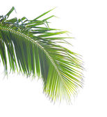 Palm tree isolated on white background — Stock Photo
