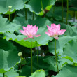 Stock Photo: Blooming lotus flower