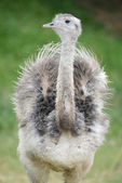 Ostrich in park — Stock Photo
