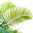 Palm tree isolated on white background — 图库照片