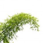Bamboo leaves isolated on white background — Stock Photo
