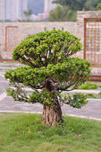 Bonsai tree in the garden — Stock Photo