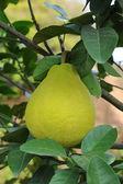 Shaddock fruit ripen in the garden — Stock Photo