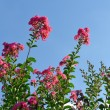 Stock Photo: Crepe myrtle flowers