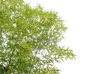 Bamboo — Foto Stock