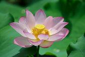開花蓮の花 — ストック写真