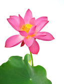 Blooming lotus flower — Foto Stock