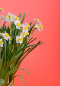Narcissus blooming — Stock Photo