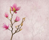 Pink magnolia flowers on old paper background — 图库照片