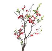Scarlet Malus spectabilis flower — Stock Photo