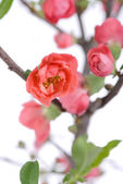 Scarlet Malus spectabilis flower in a garden at spring — Stock Photo