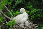 Great egret chicks in nest — Stock Photo