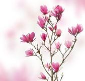 Pink magnolia flowers isolated on white background — Stock Photo