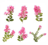 Crepe myrtle flowers — Stock Photo