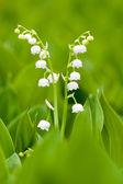 Białe lilie — Zdjęcie stockowe