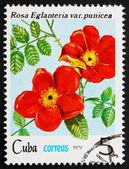Posta pulu küba 1979 gül, rosa eglanteria punicea — Stok fotoğraf