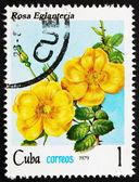 Posta pulu küba 1979 gül, rosa eglanteria — Stok fotoğraf