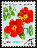 Postage stamp Cuba 1979 Rose, Rosa Eglanteria Punicea — Stock Photo