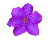 Clematis flor — Foto de Stock