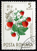 Postage stamp Romania 1964 Wild Strawberries, Fragaria Vesca — Stock Photo