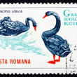 Postage stamp Romani1964 Black Swans, Cygnus Atratus, Bird — Stock Photo #17865101
