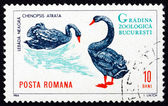 Postage stamp Romania 1964 Black Swans, Cygnus Atratus, Bird — Stock Photo