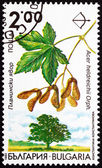 Postage stamp Bulgaria 1992 Balkan Maple, Acer Heldreichii — Stock Photo