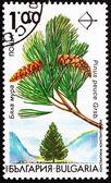 Postage stamp Bulgaria 1992 Macedonian Pine, Pinus Peuce — Stock Photo